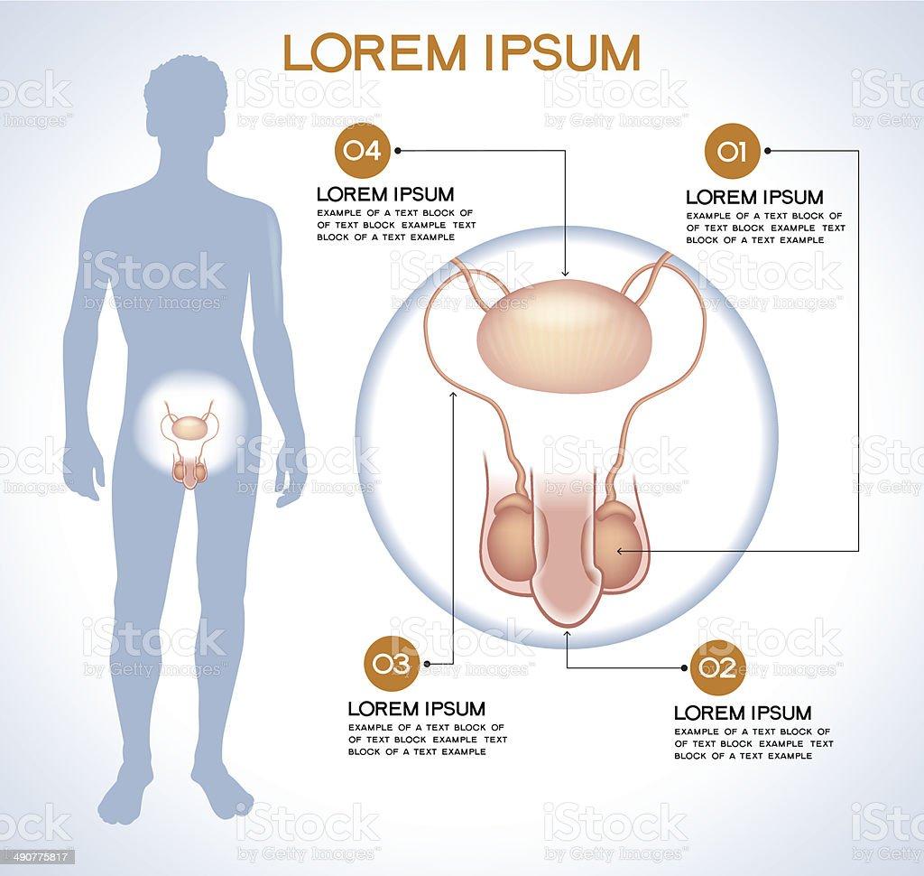 Internal human organ penis and testes vector art illustration