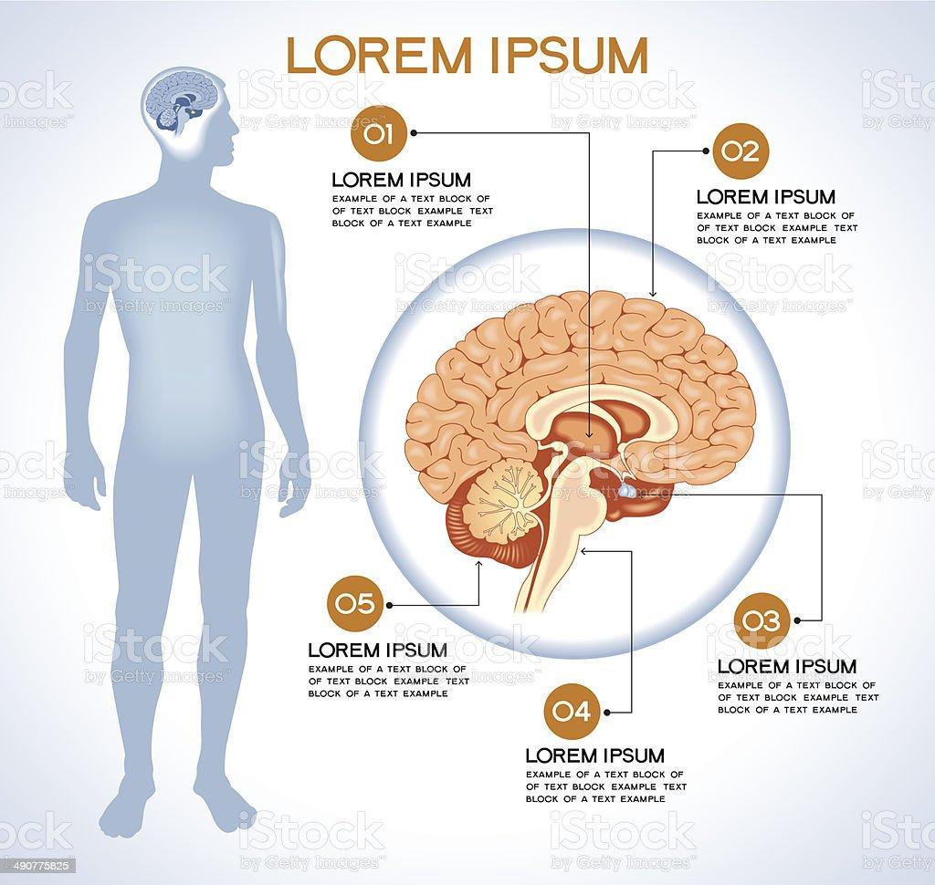 Internal human organ pituitary vector art illustration