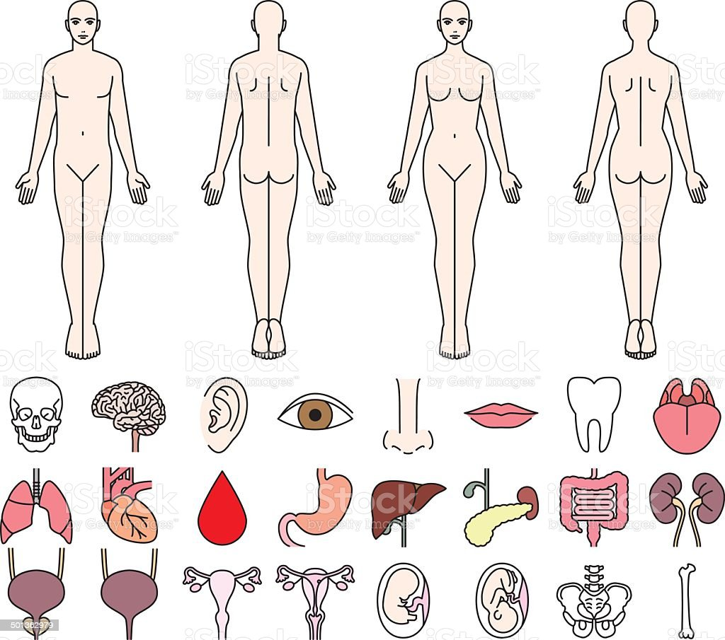 Internal organs of the human body and men and women vector art illustration