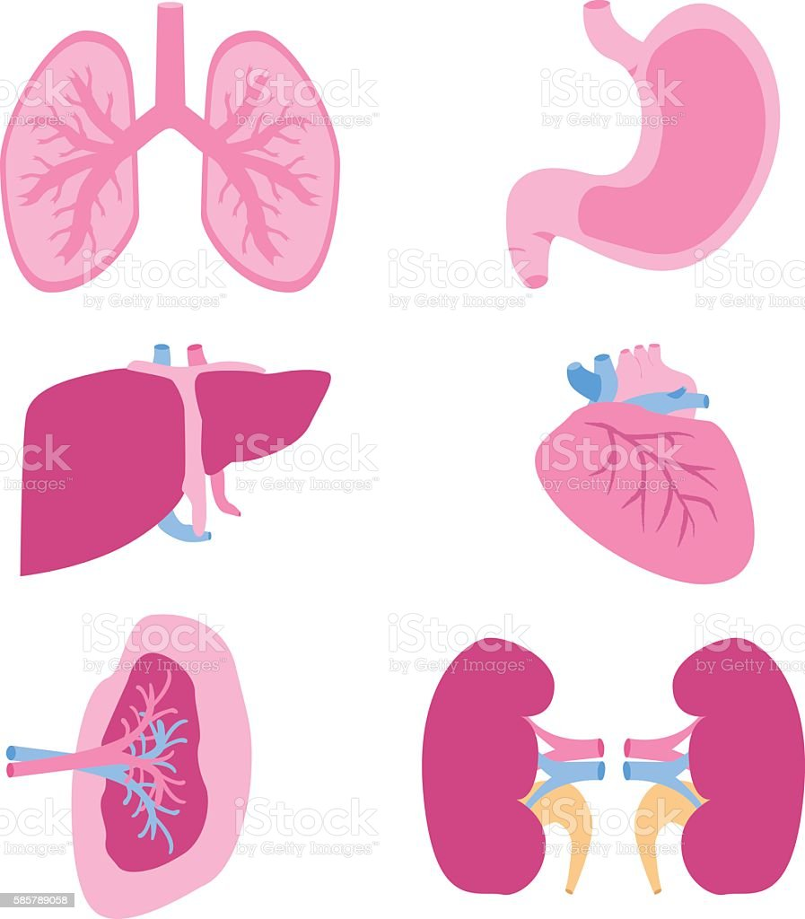 Internal organs vector set. vector art illustration
