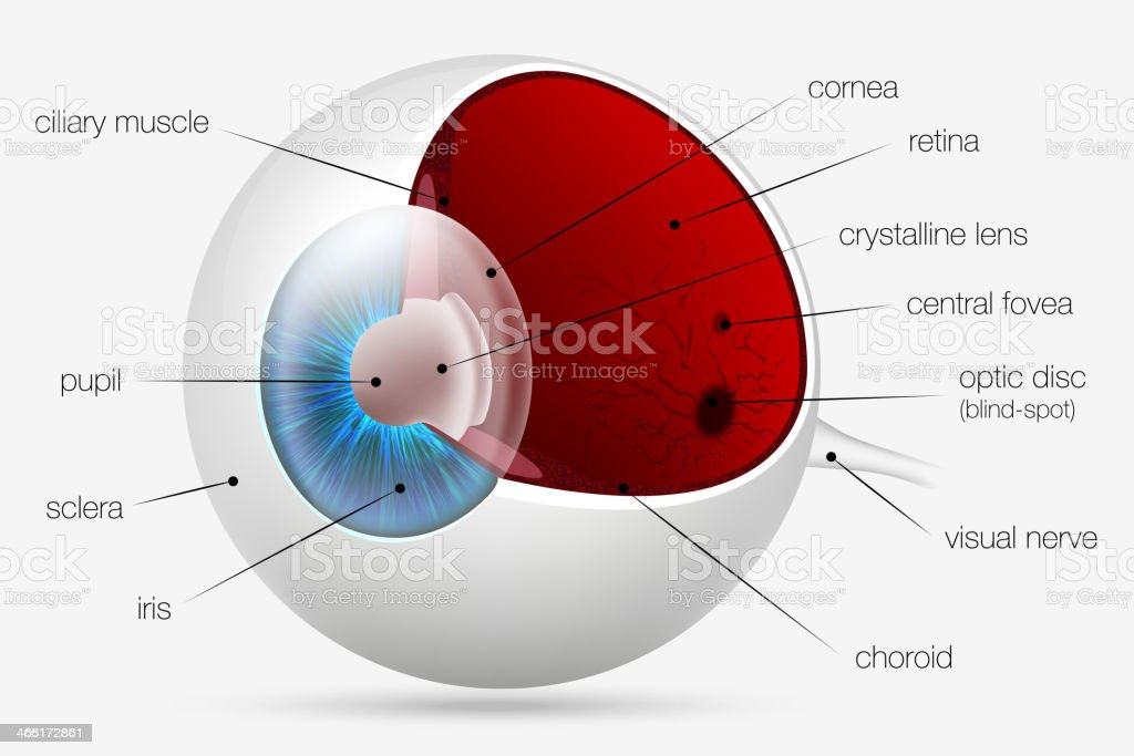 internal structure of the human eye vector art illustration