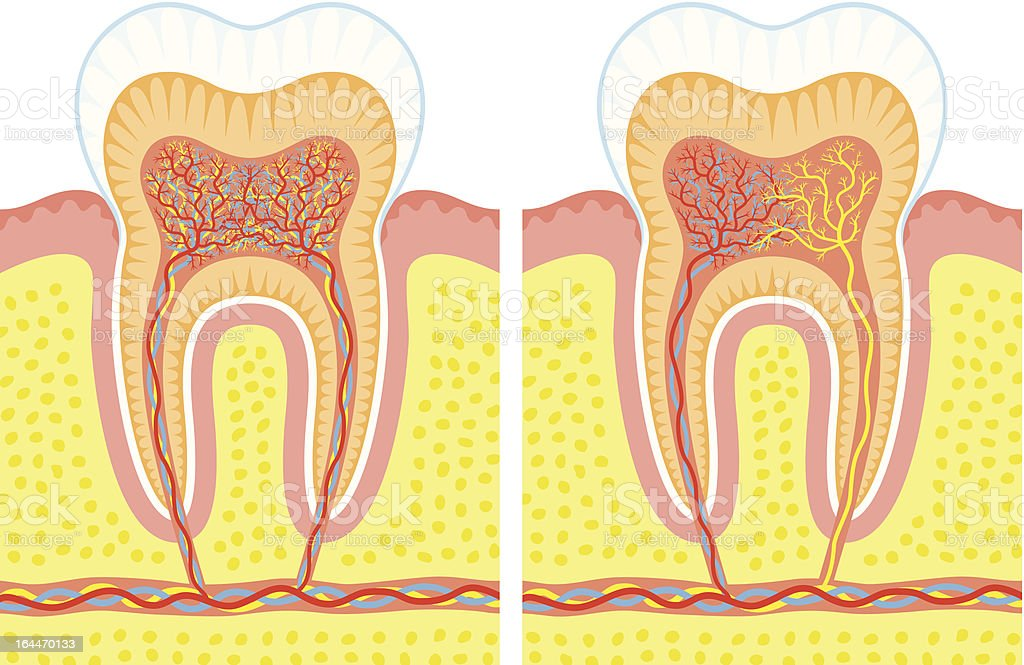 Internal structure of tooth royalty-free stock vector art