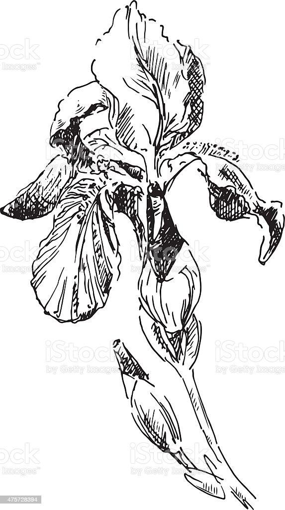 iris vector art illustration