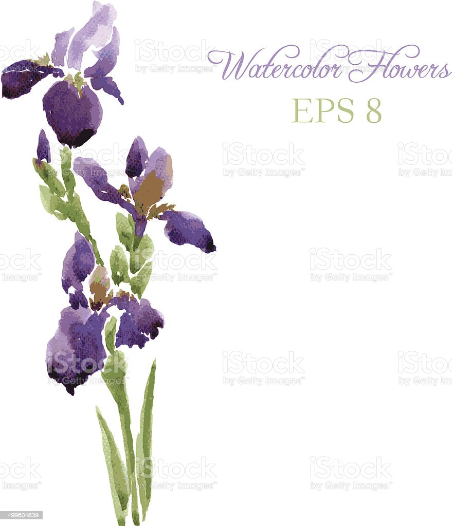 Irises drawing by watercolor vector art illustration