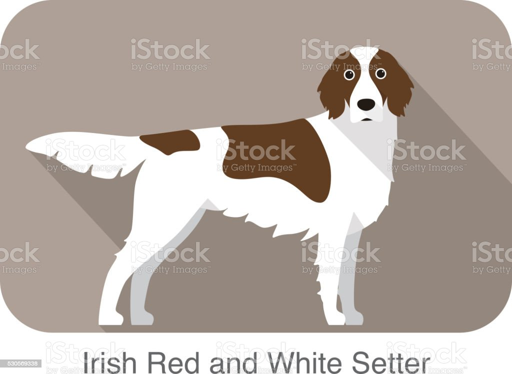 Irish red and white setter terrier standing and watching vector art illustration