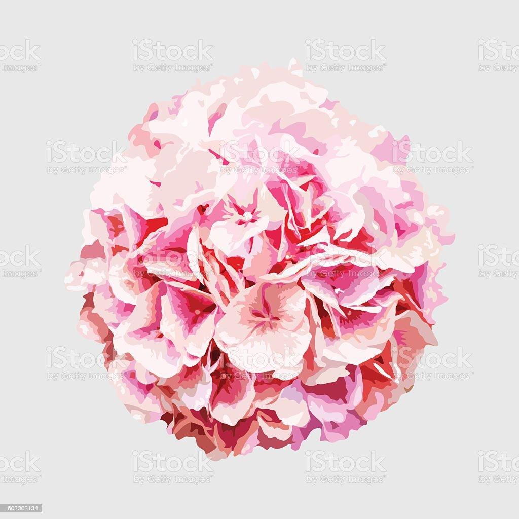 isolated blooming realistic pink hydrangea flower, summer botanical natural illustration vector art illustration