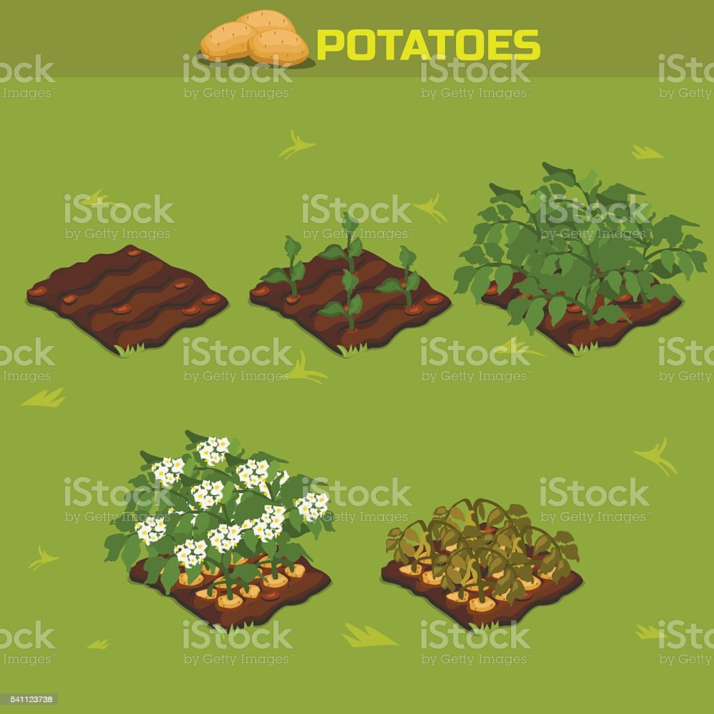 SET 11. Isometric Stage of growth Potatoes vector art illustration