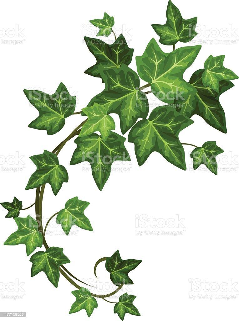 Ivy branch. Vector illustration. vector art illustration