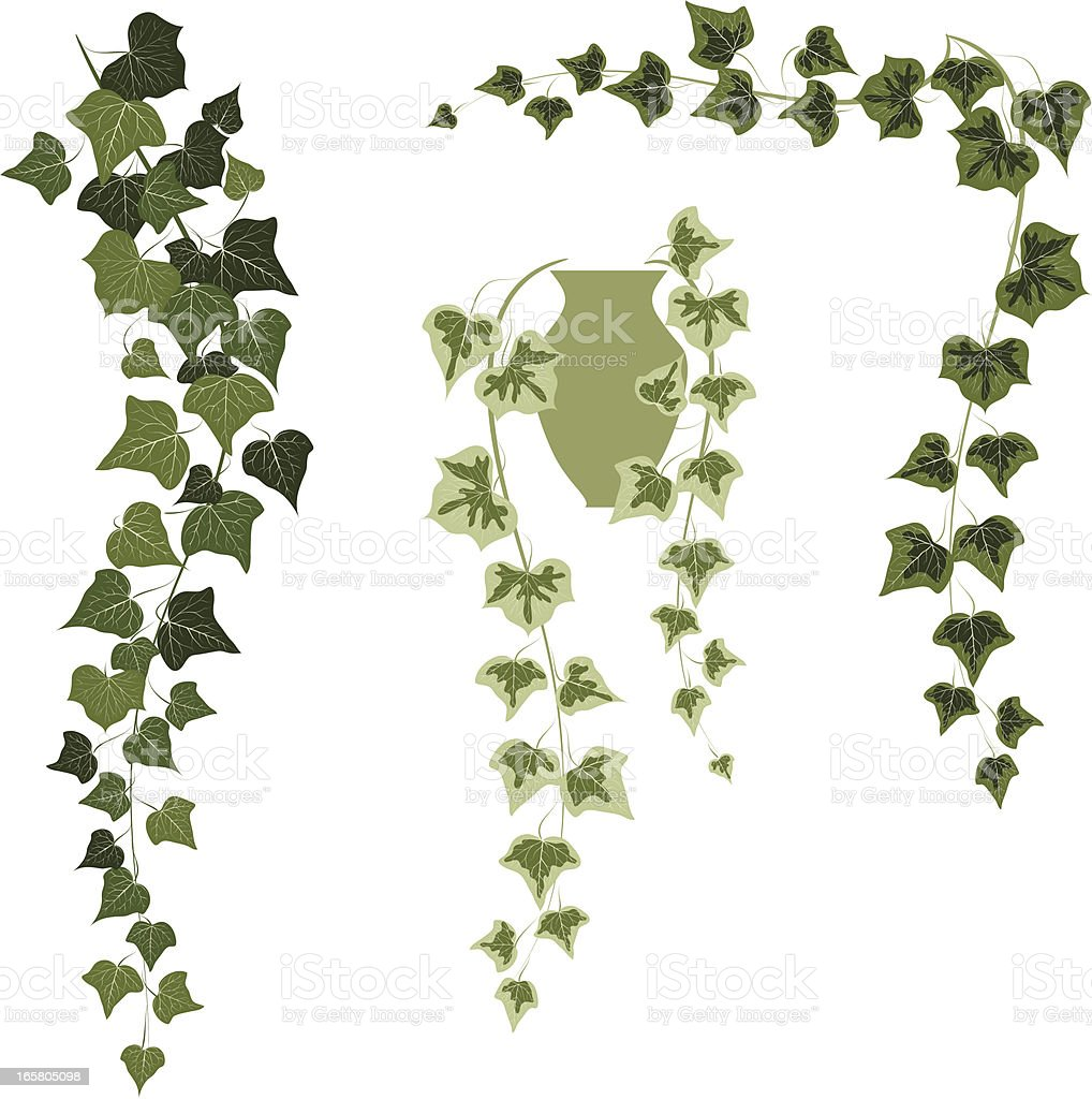 ivy royalty-free stock vector art