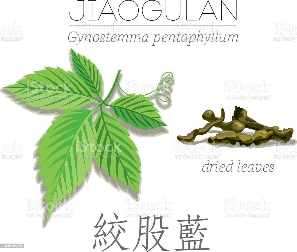 Jiaogulan. Gynostemma pentaphyllum. vector art illustration