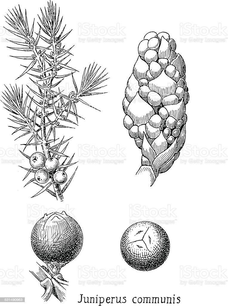 juniper vector art illustration
