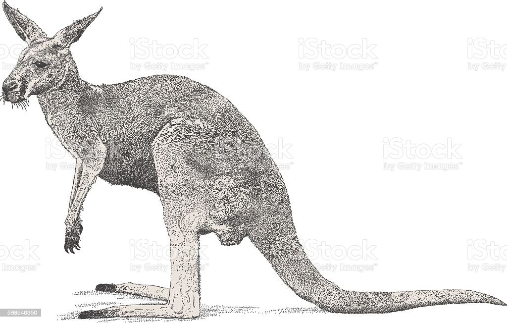 Kangaroo vector art illustration