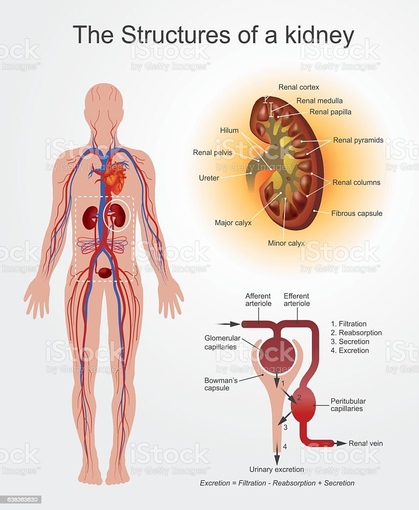 renal papilla clip art, vector images & illustrations - istock, Human Body