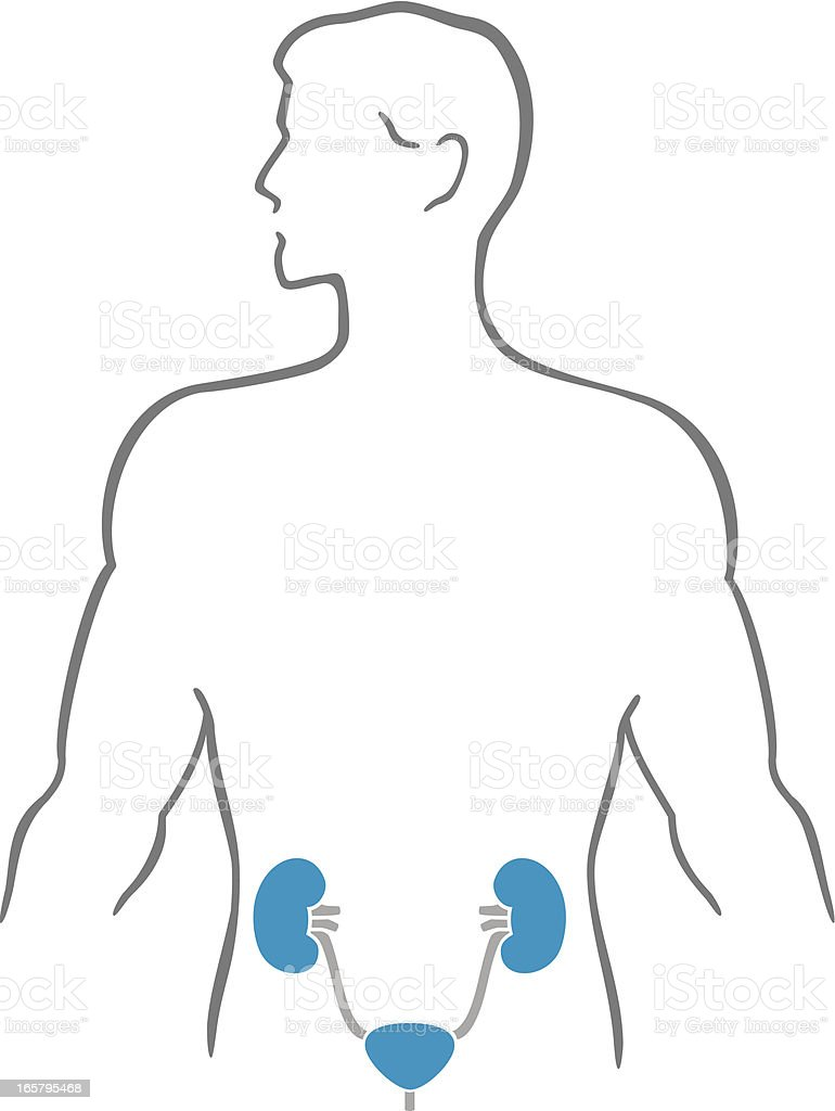 Kidneys and human body royalty-free stock vector art