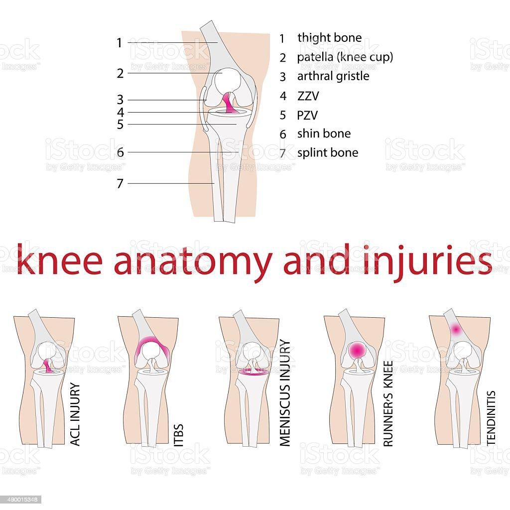 knee anatomy vector art illustration
