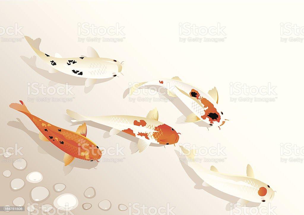 Koi family vector art illustration