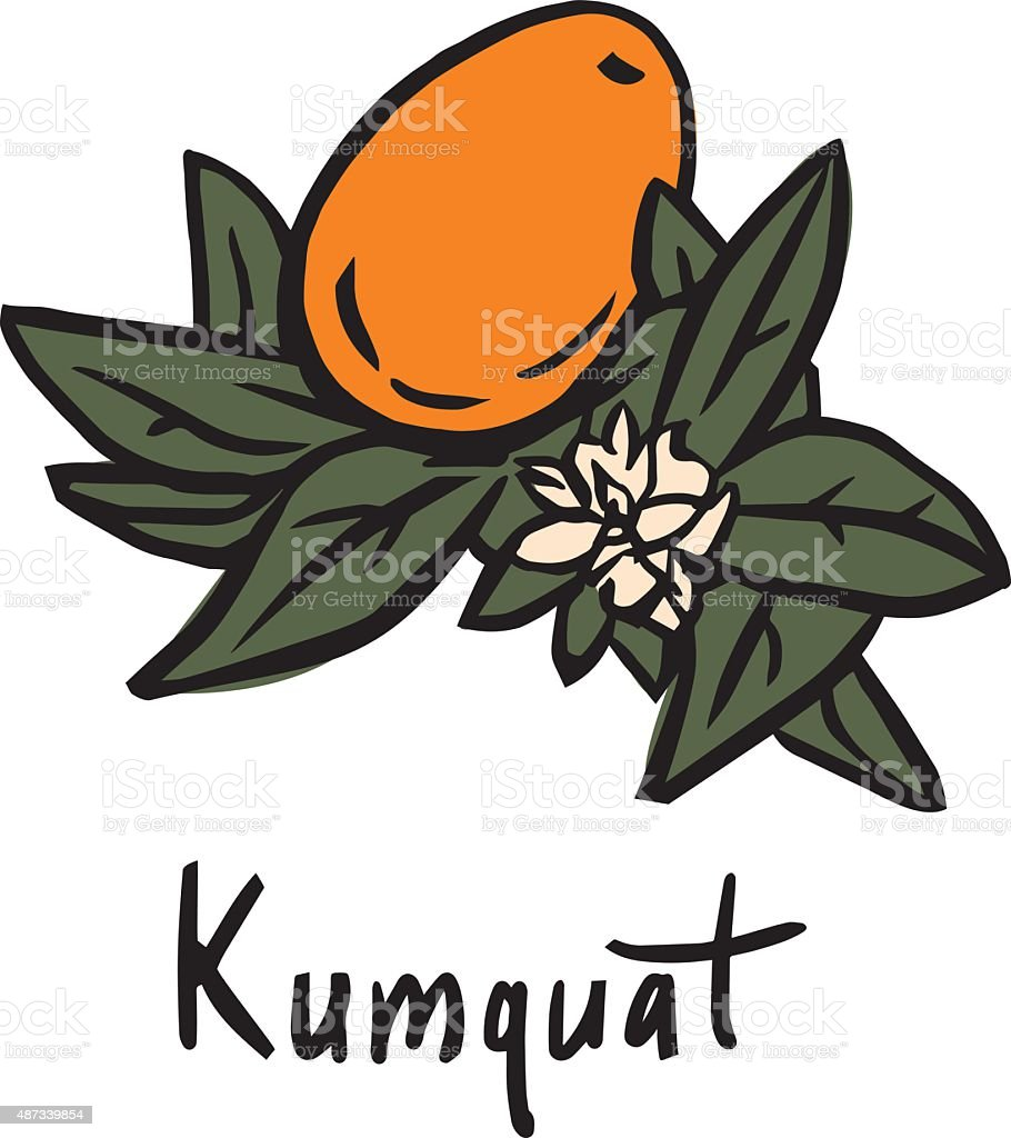 Kumquat fruit vector art illustration