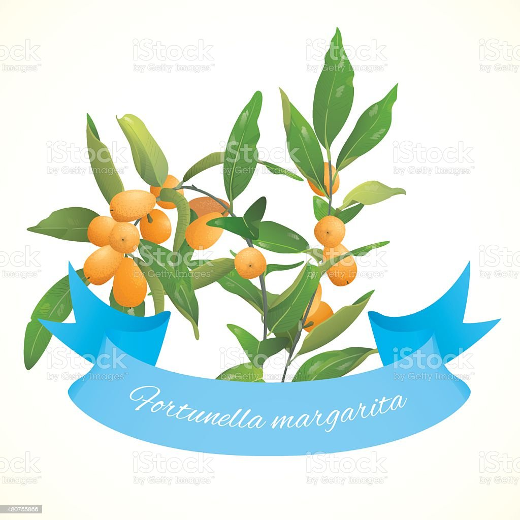 Kumquat (Fortunella) plant vector art illustration