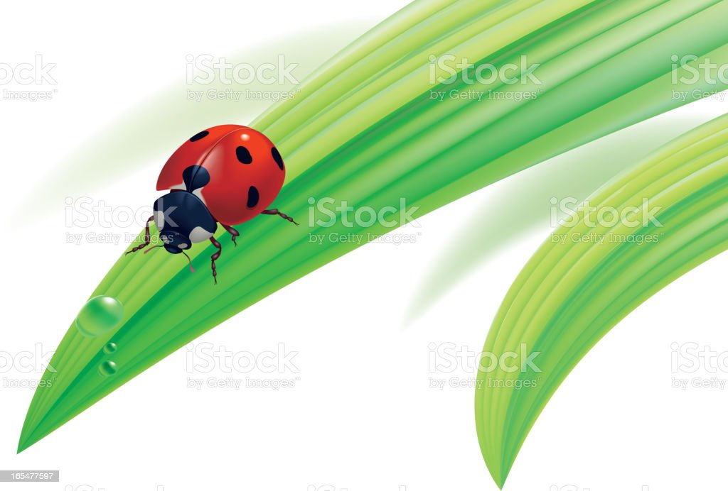 Ladybird on grass with water drops. royalty-free stock vector art