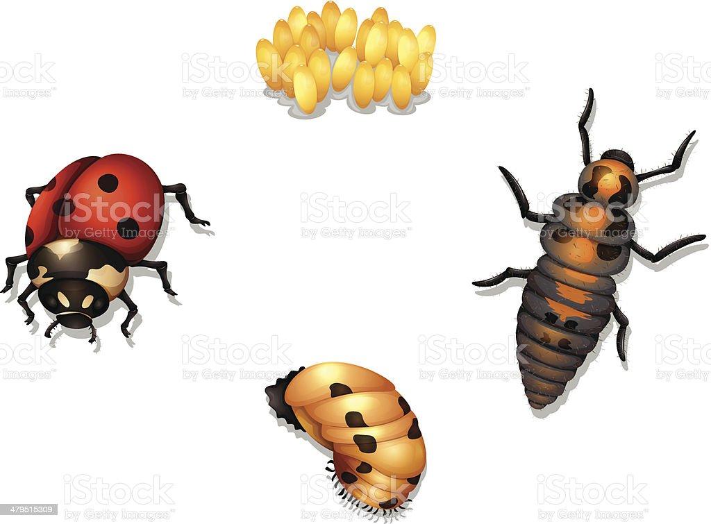 ladybug life cycle vector art illustration