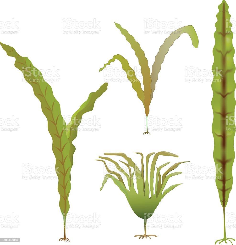 Laminaria is a brown algae, kelp vector art illustration