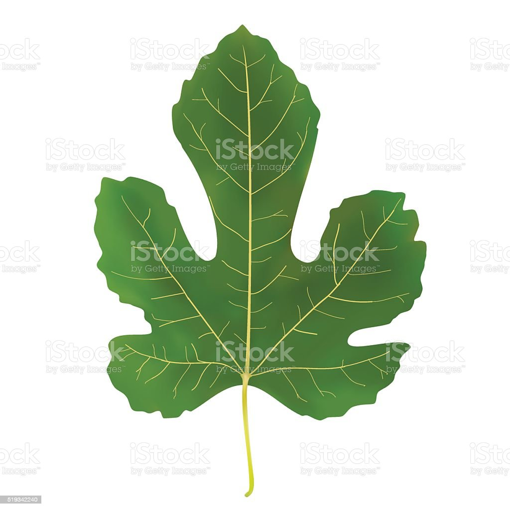 large green leaf fig vector art illustration