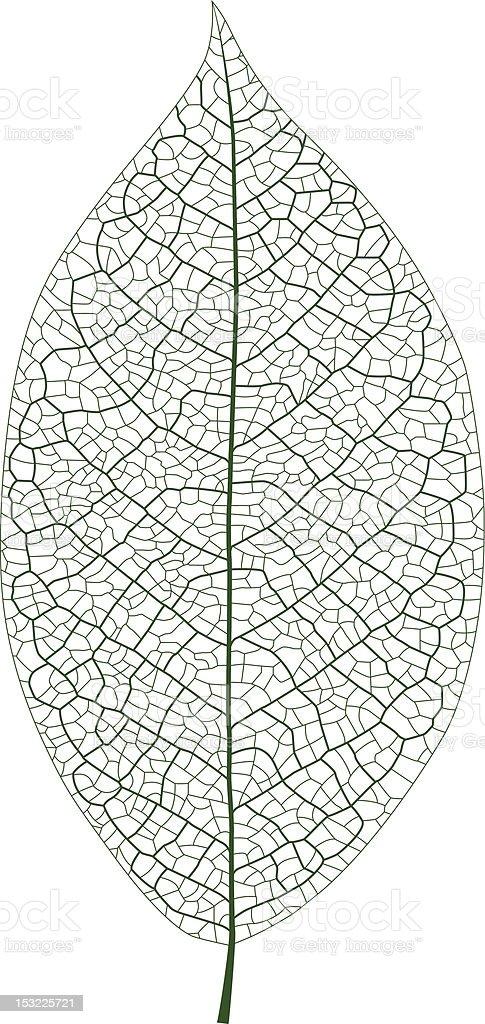 Leaf Vein vector art illustration
