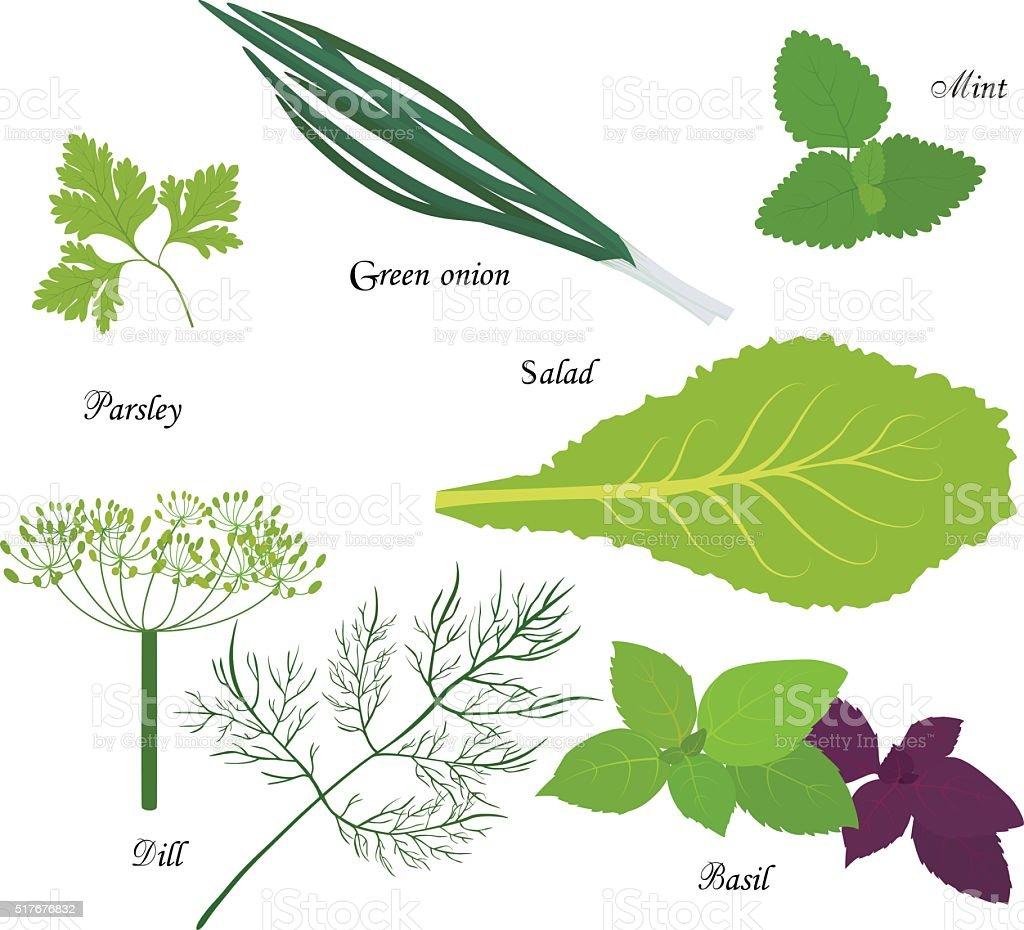 Leafy green vegetables, organic product for vegetarian diet vector art illustration
