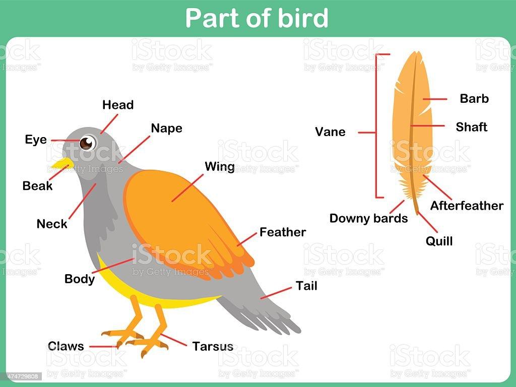 leaning parts of bird for kids worksheet stock vector art 474729808 istock. Black Bedroom Furniture Sets. Home Design Ideas