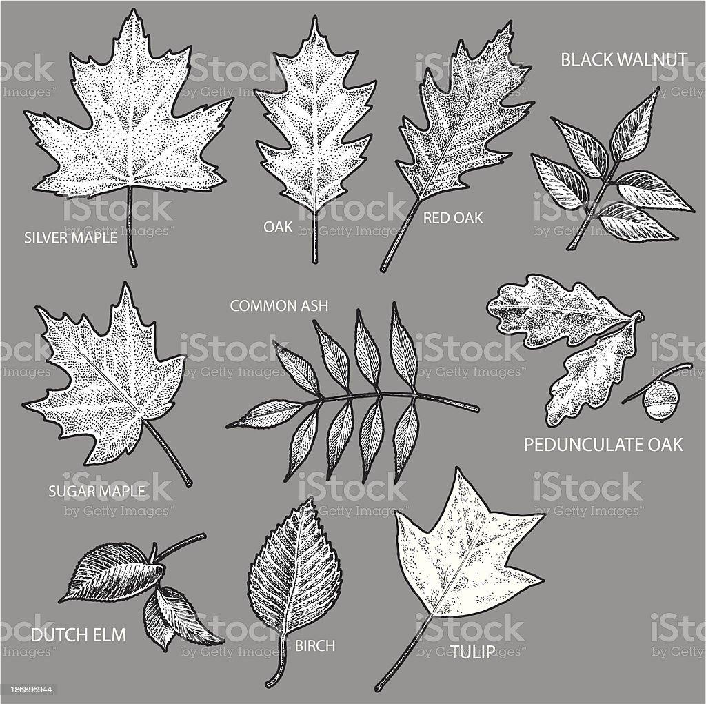 Leaves - Maple, Oak, Elm, Birch, Tulip, Walnut vector art illustration