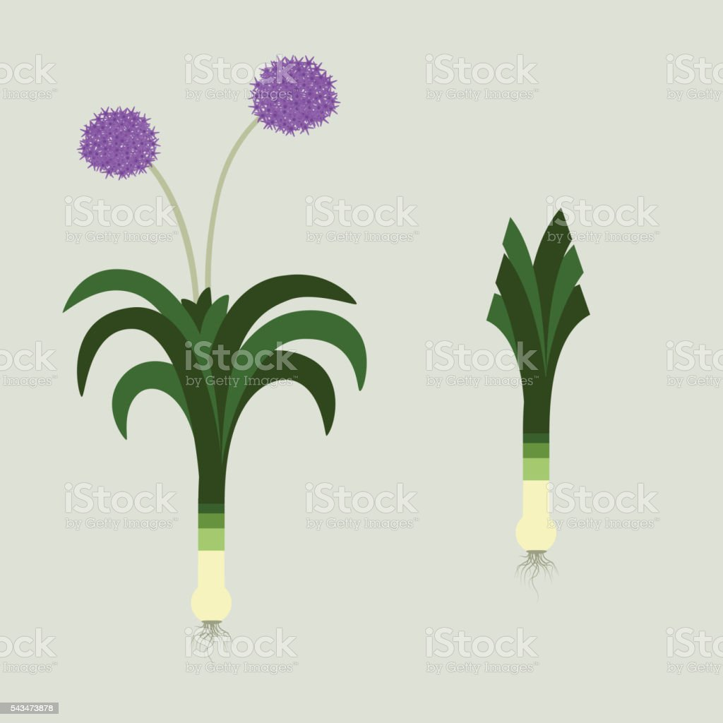Leek and flower vector art illustration