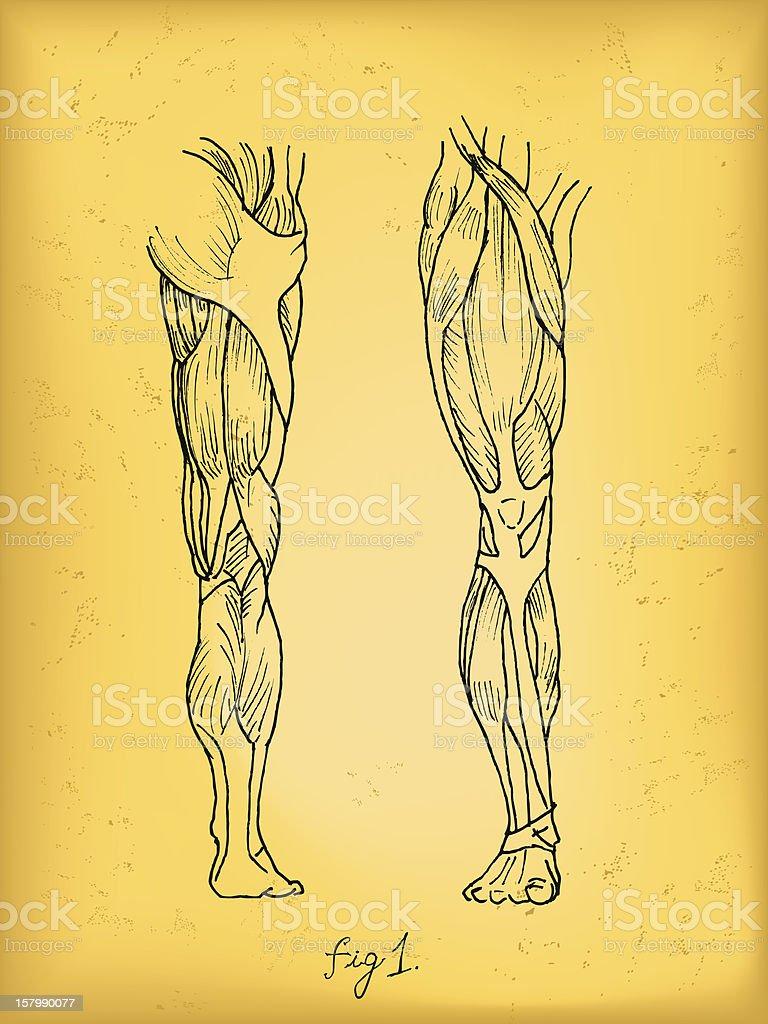 Leg Muscles vector art illustration