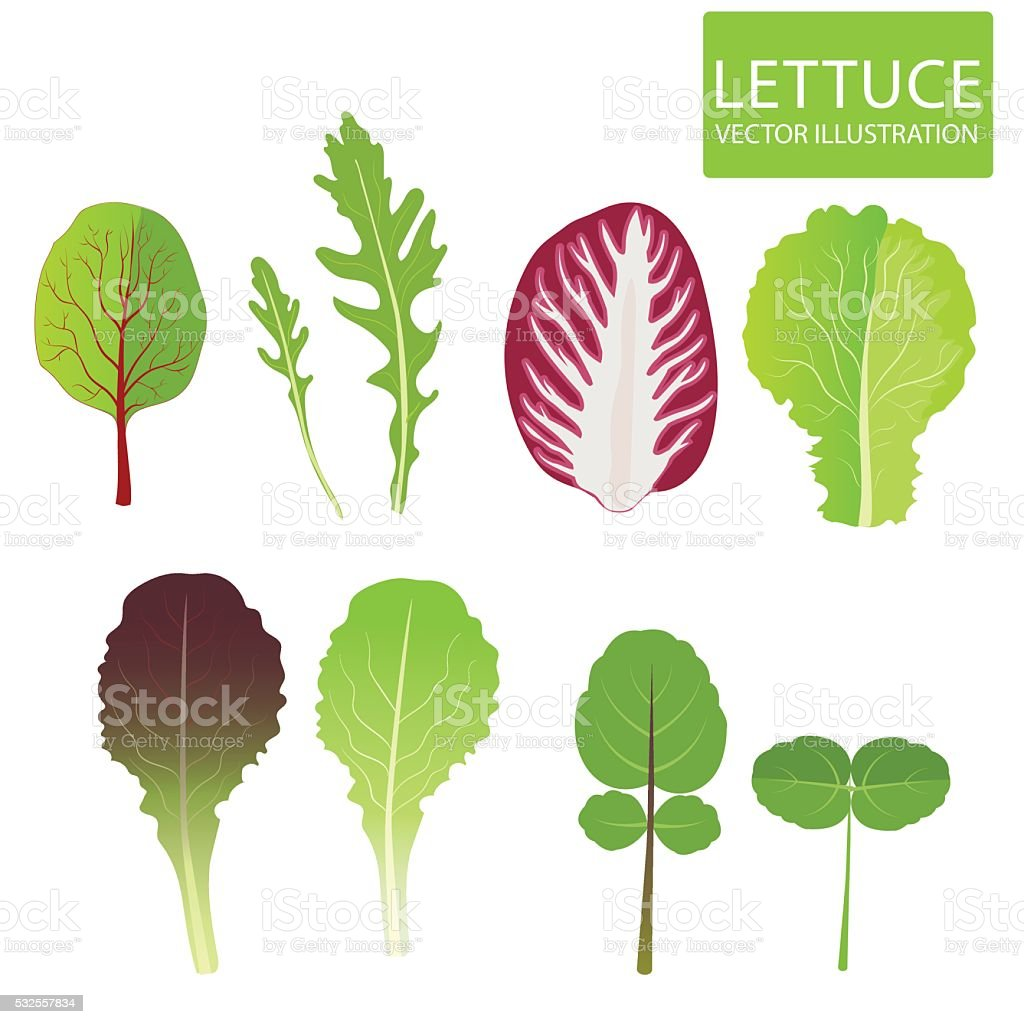 Lettuce Types Vector. Set Of Salad Bowl. Salad Vector Illustration. vector art illustration