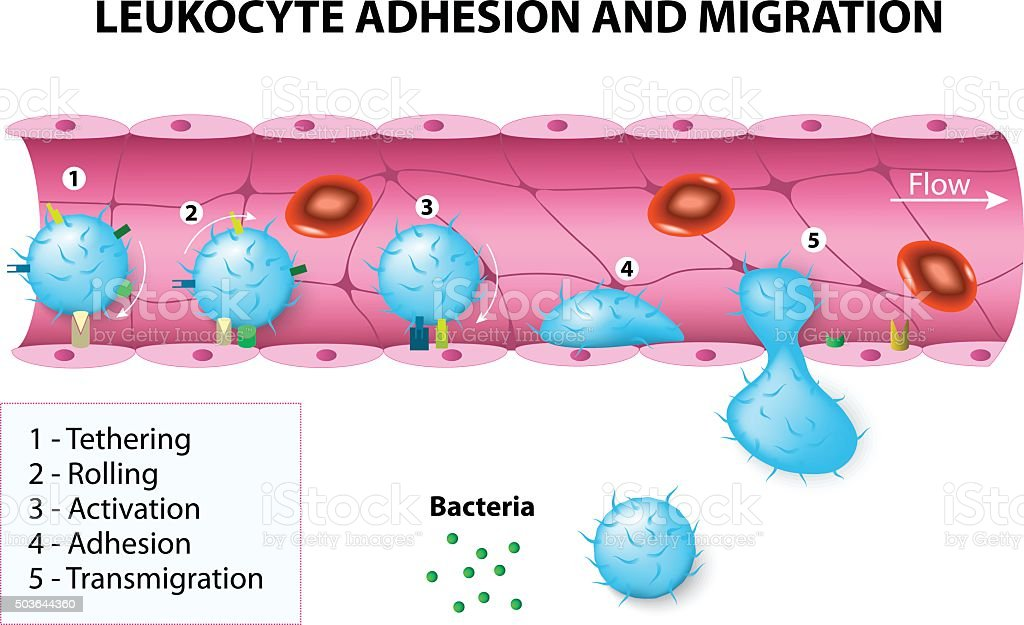 Leukocyte adhesion and migration vector art illustration