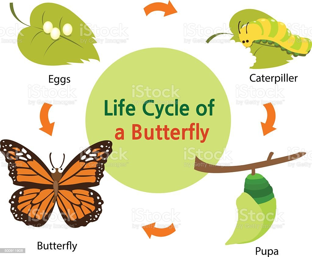 Life cycle of a butterfly vector art illustration