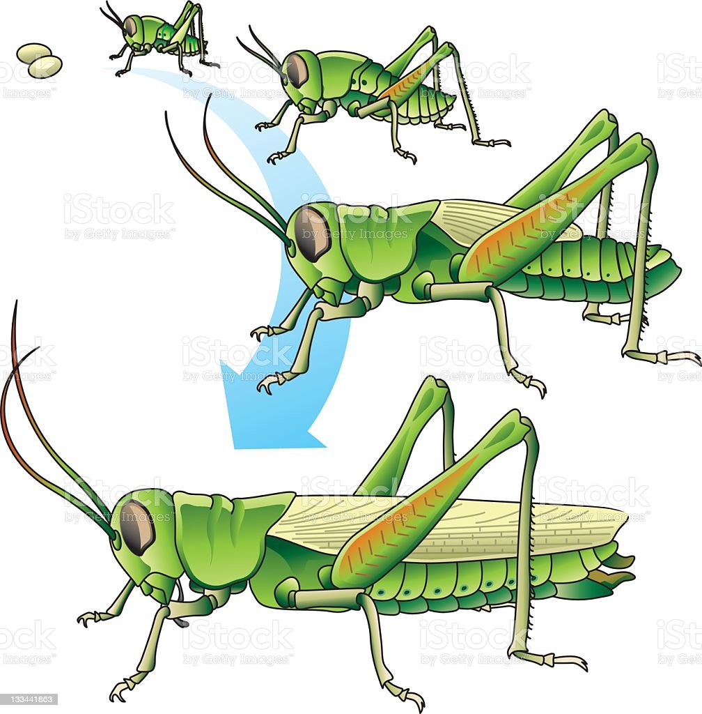 Life cycle of a grasshopper vector art illustration