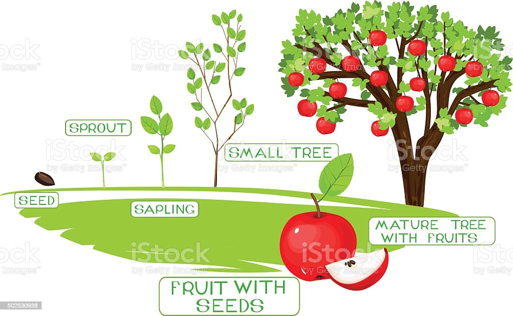 life cycle of apple tree vector art illustration