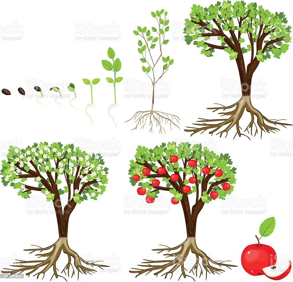 life cycle of apple tree vector art illustration