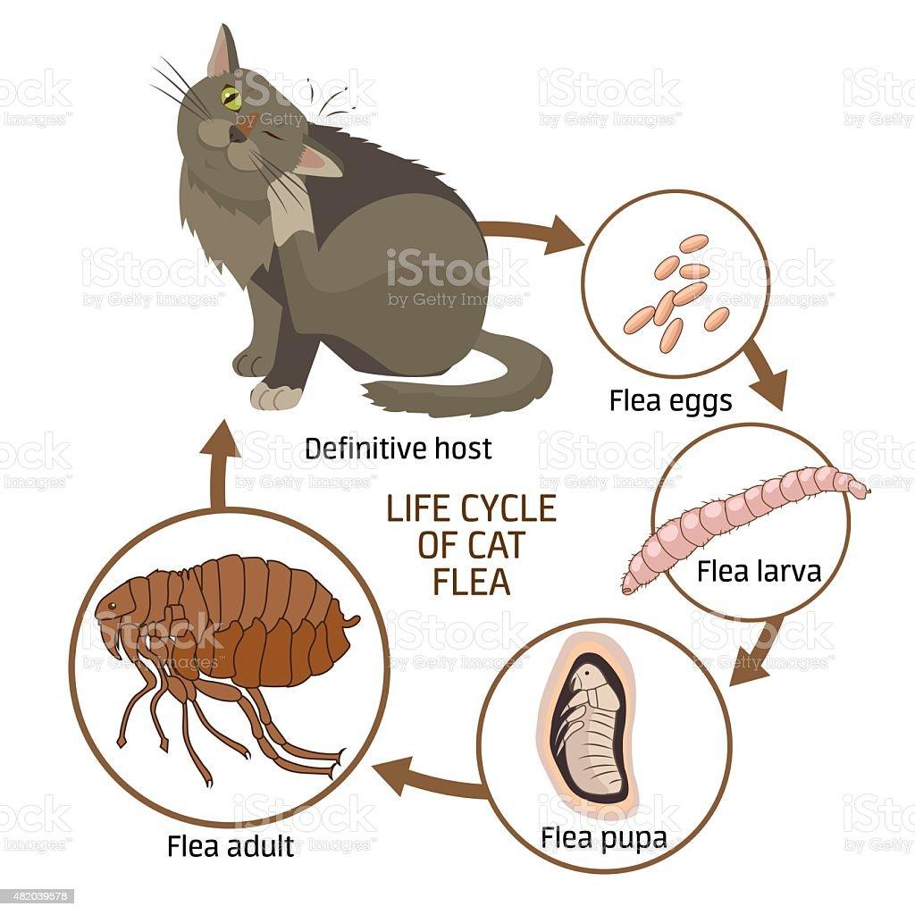 Life cycle of cat flea. Vector illustration. vector art illustration