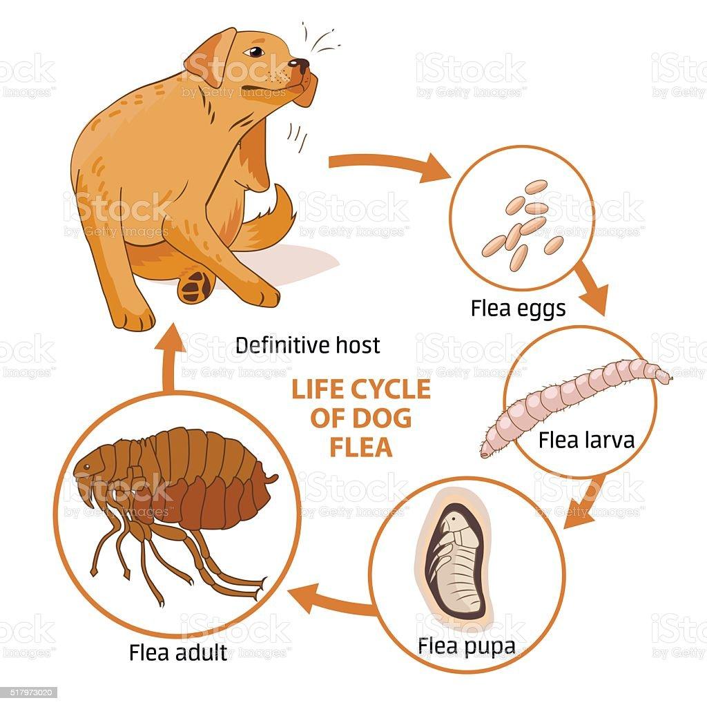 Life cycle of dog flea. Vector illustration. Infection. vector art illustration