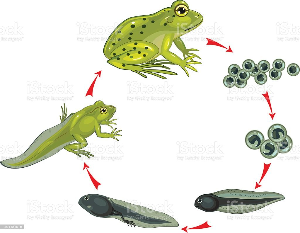 Life cycle of frog vector art illustration