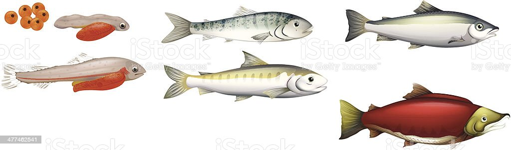 Life Cycle of Salmons vector art illustration