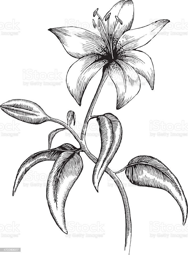 Lilly vector art illustration