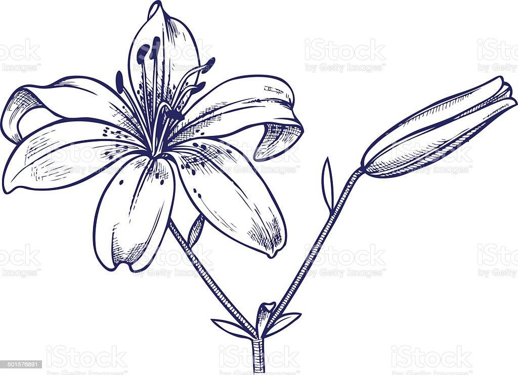 lily flower vector art illustration
