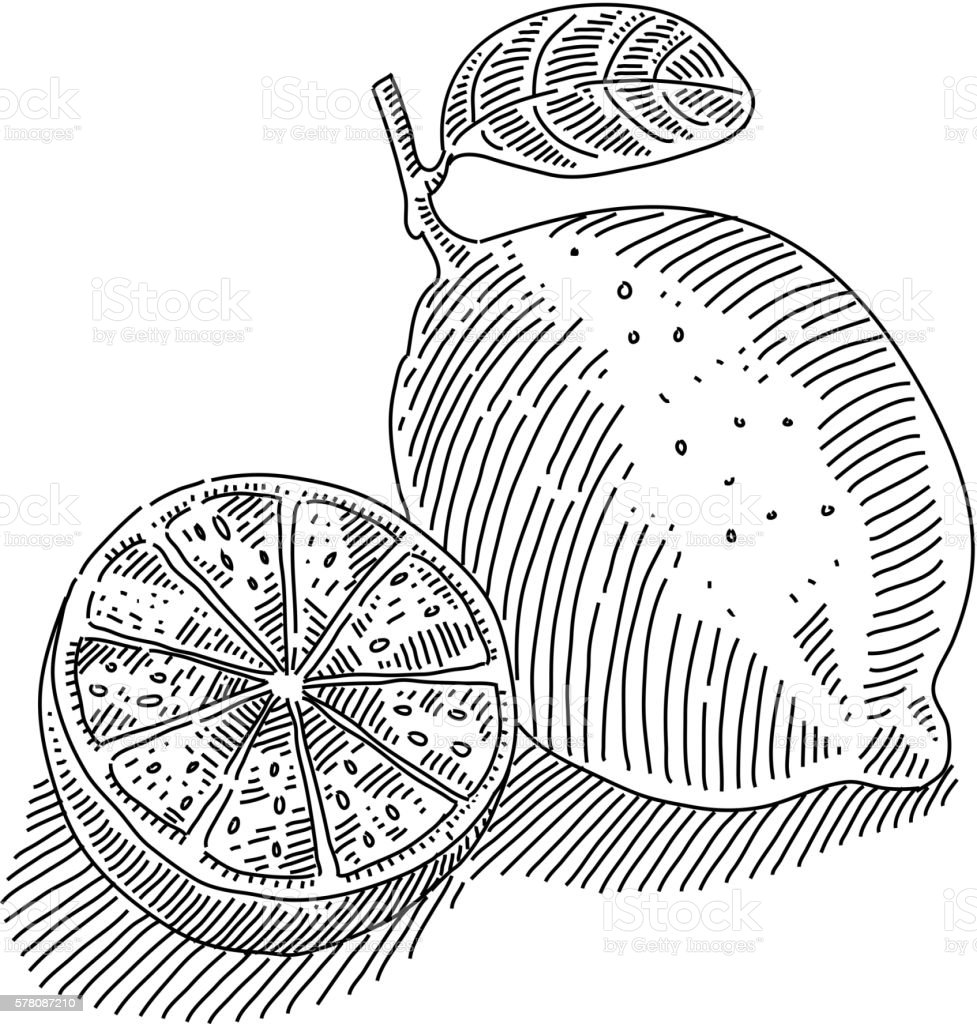 Lime and Slices Drawing vector art illustration