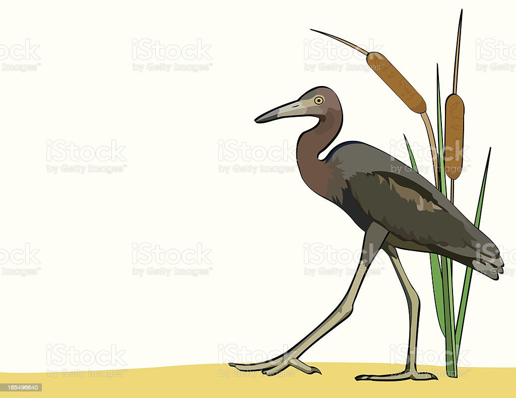 Little Blue Heron vector art illustration