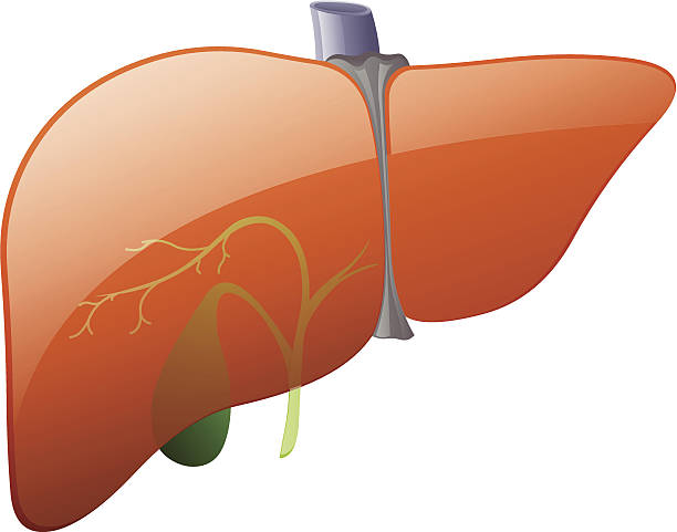 Human Liver Clip Art, Vector Images & Illustrations - iStock