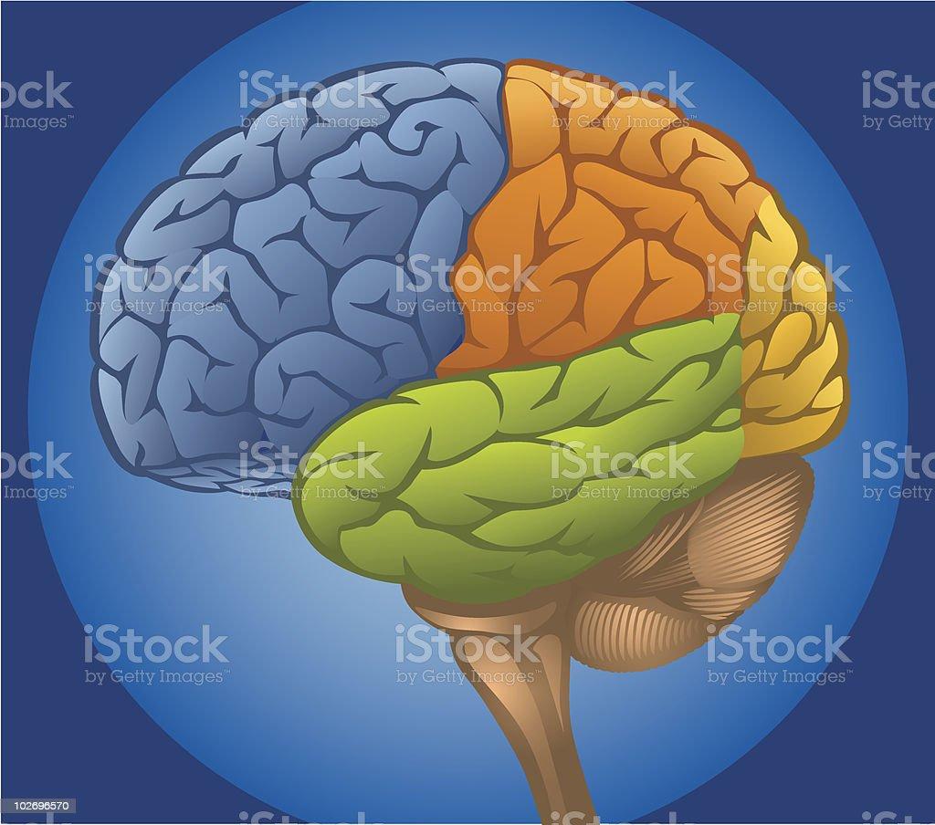 Lobes of the Human Brain royalty-free stock vector art