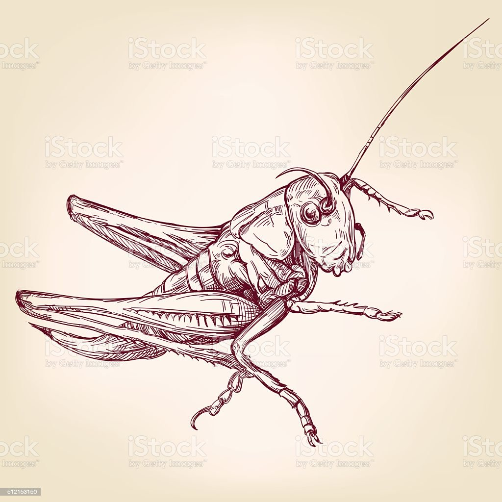 Locust or grasshopper -insect  hand drawn vector llustration realistic sketch vector art illustration