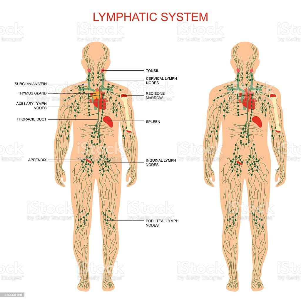 lymphatic system, vector art illustration